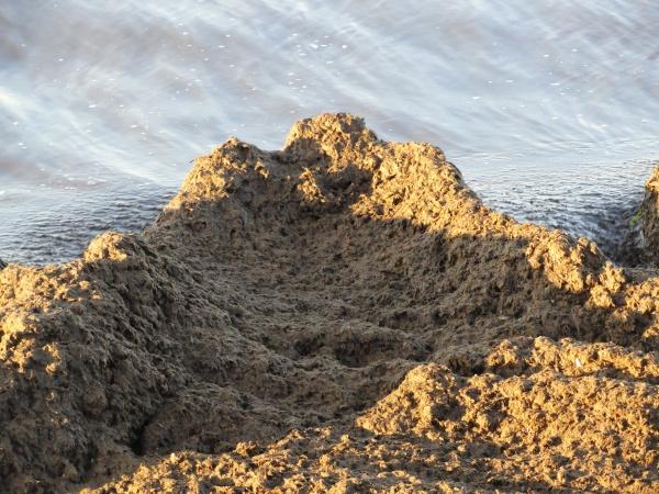 Depósitos de posidonia en la playa de la Almadraba . Foto R.Puig
