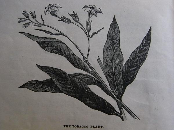 Royal Readers III.La planta del tabaco