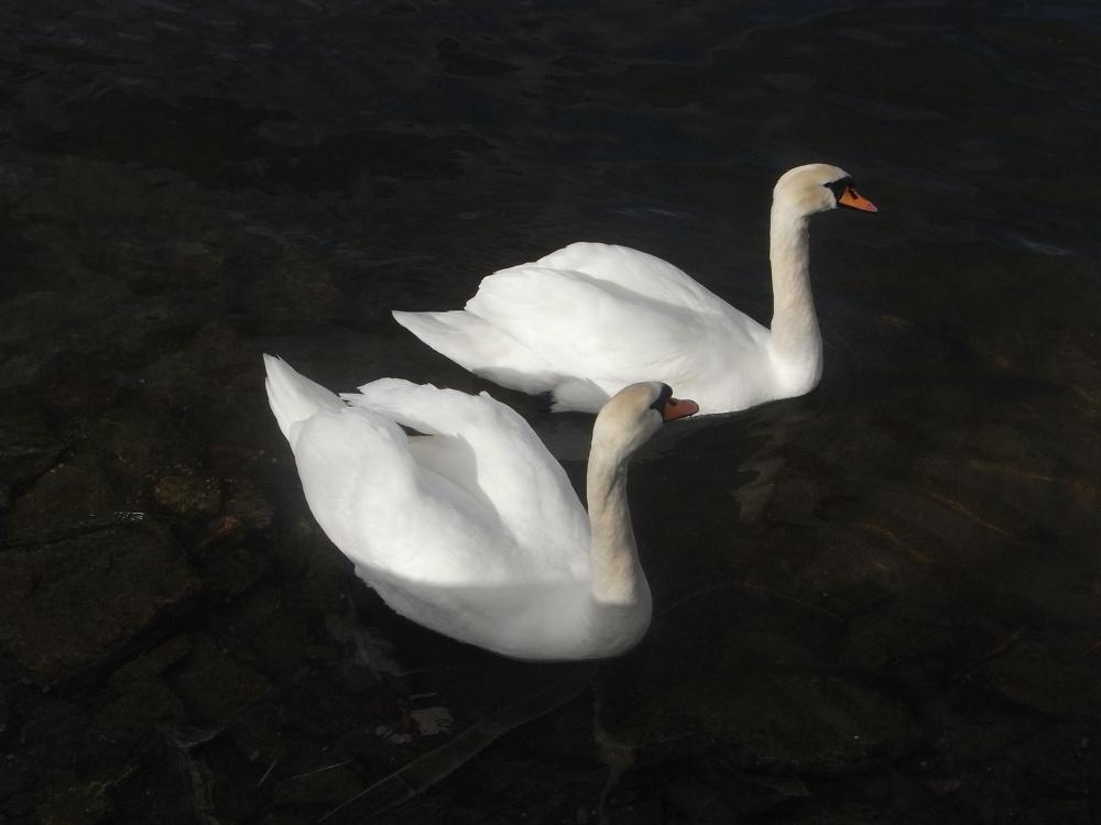 El duo de los cisnes (1/5)