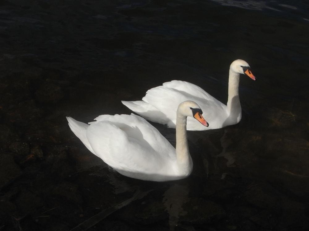 El duo de los cisnes (2/5)