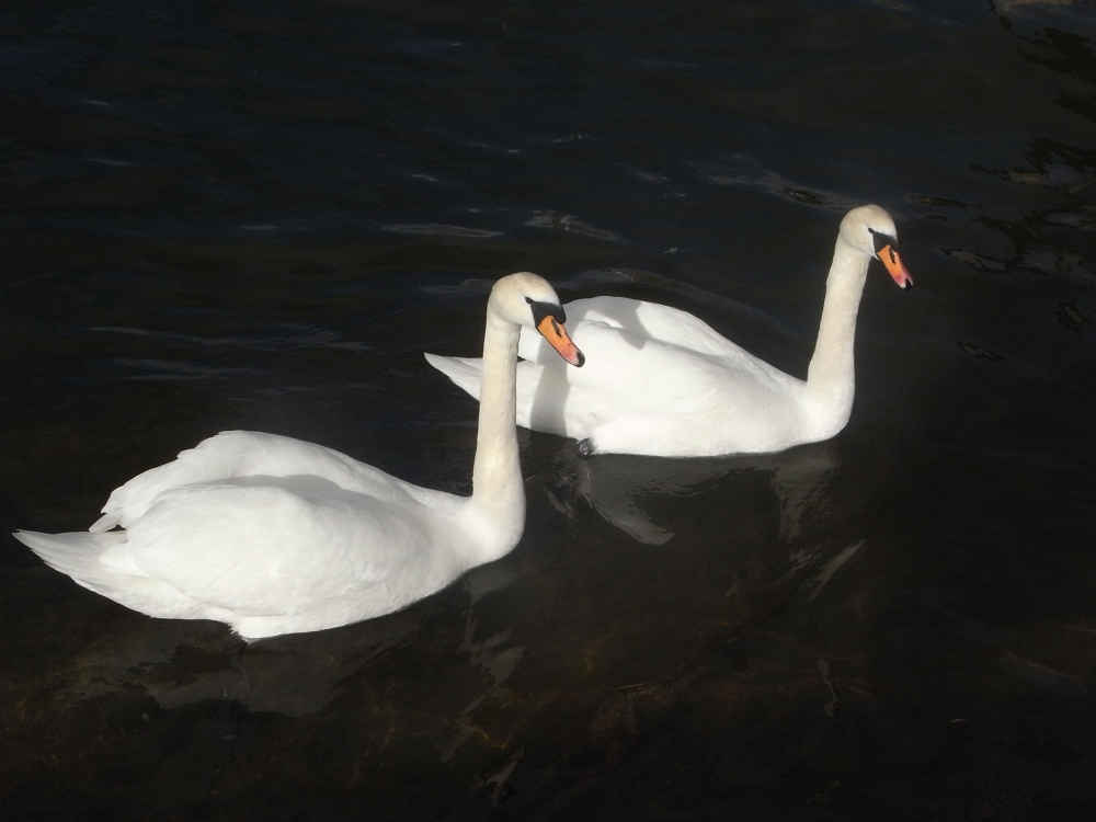 El duo de los cisnes (3/5)