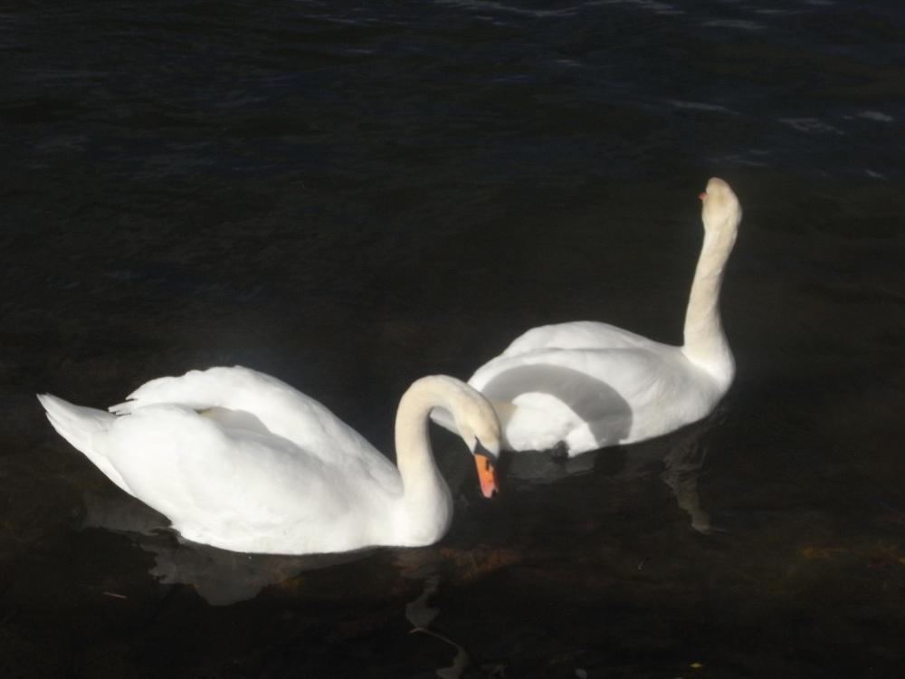 El duo de los cisnes (4/5)