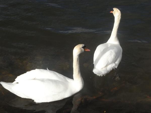 Duo de cisnes.Foto R.Puig