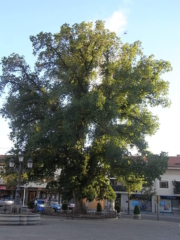 El olmo centenario de Guadarrama. Foto R.Puig.