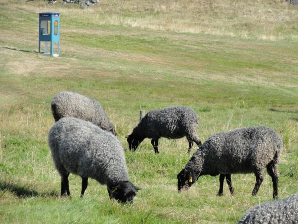 Llamadas telefonicas de Claes Eriksson y Johan Eyssen y ovejas imperterritas. Pilane. Foto R.Puig.
