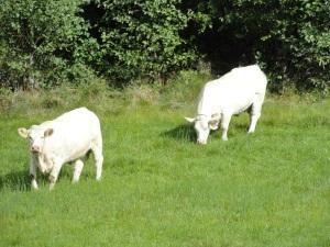 Ternero con mama vaca en Tjorn. Foto R.Puig.