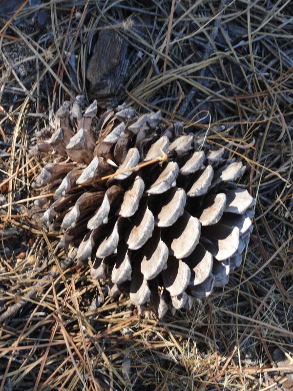 Una piña en el bosque de Guadarrama.Foto R.Puig.
