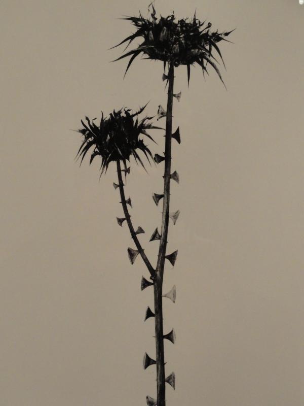 Erectus pseudospinosus. Herbarium fotografico de Joan  Fontcuberta.1982.