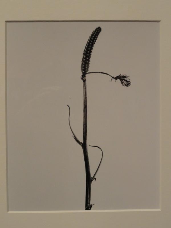 Giliandeia escoliforcea. Herbarium fotografico de Joan  Fontcuberta.1982.