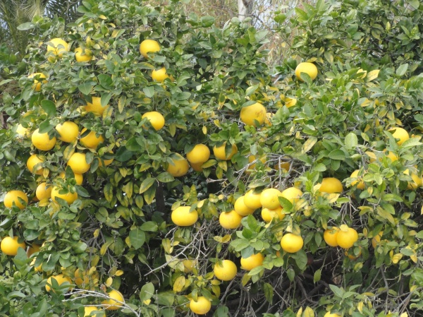 Lemon tree very pretty. Foto R.Puig