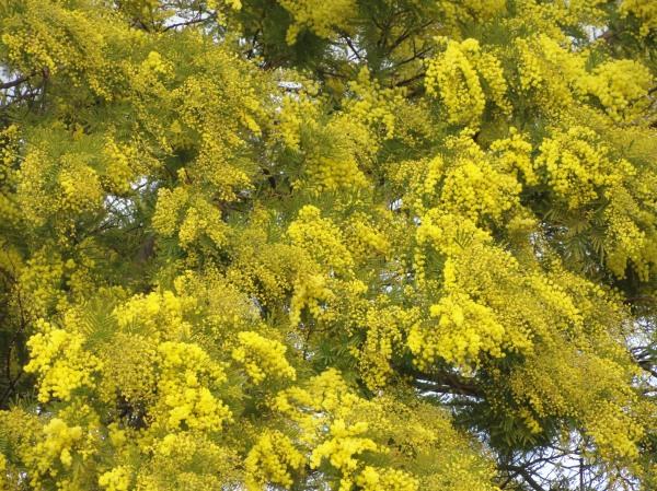 Mimosa. Foto R.Puig