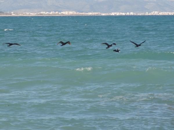Los cormoranes saben cuando hay que migrar. Foto R.Puig