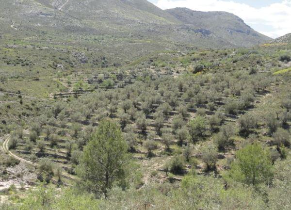 Bancales de olivar. Foto R.Puig.