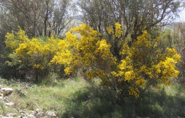 El amarillo de la genista. Foto R.Puig