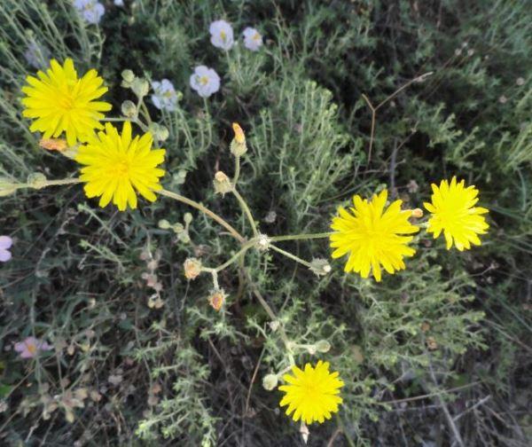 Flor amarilla de la Vall d'Ebo. Foto R.Puig