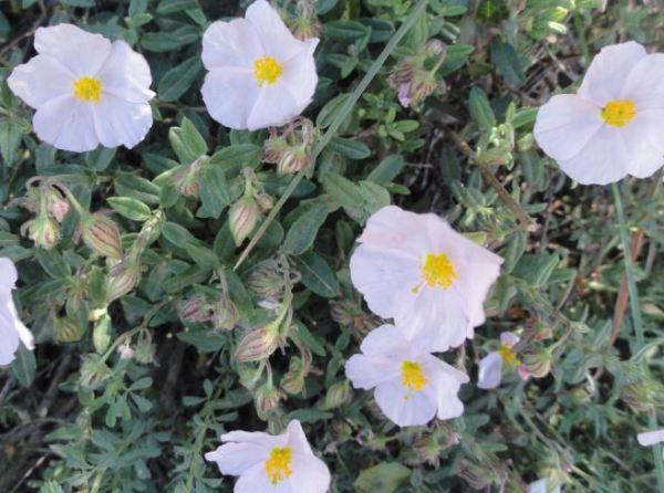 Flor blanca de la Vall d'Ebo. Foto R.Puig
