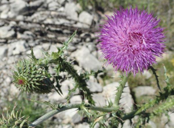 Flor de cardo de la Vall d'Ebo. Foto R.Puig