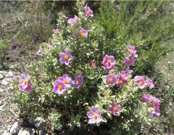 Flor lila por la Vall d'Ebo. Foto R.Puig