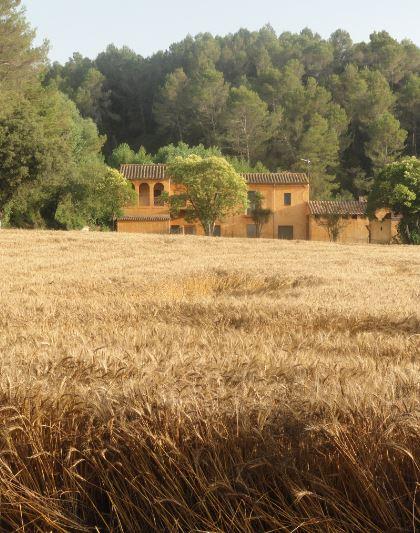 Trigales en Bañolas. Foto R.Puig