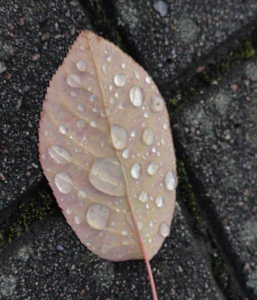 Hoja de olmo con gotas de lluvia. Foto R.Puig