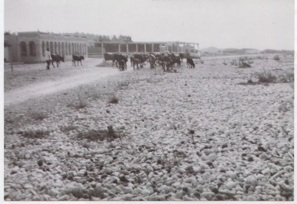 La playa como vía pecuaria en la proximidad del restaurante Llandero. 1961. Cortesía de Pere Cardona
