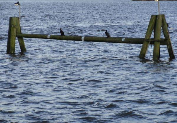 Cormoranes sedentarios. Foto R.Puig