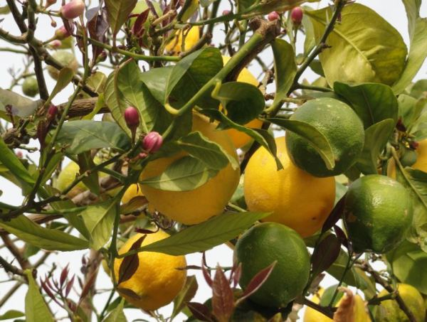 Las tres fases del limón. Foto R.Puig