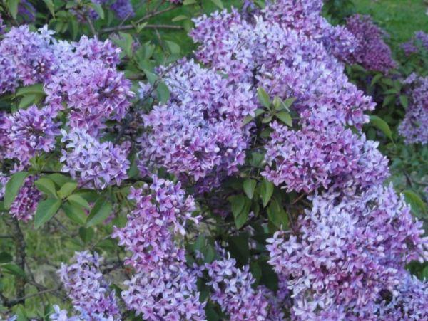 Días de lilas. Foto R.Puig