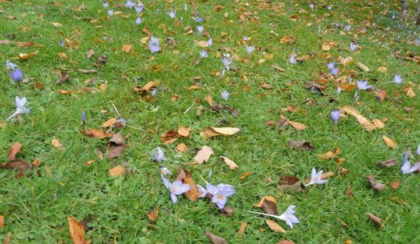 Crocus fuera de temporada. Foto R.Puig