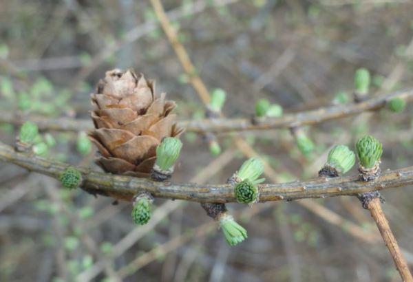 Apunta la primavera. Akulla. Halland. Foto R.Puig