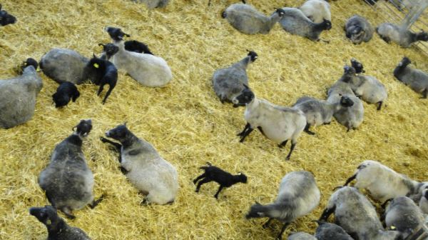 Más ovejas con sus corderitos. Åkulla.  Halland. Foto R.Puig