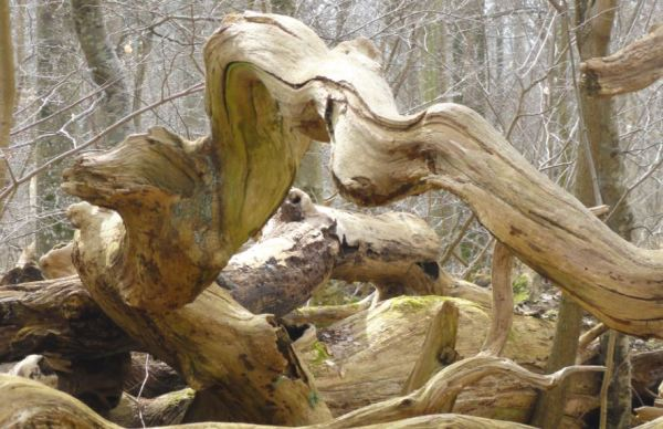 Proboscidio. Parque Nacional de Söderskog. Foto R.Puig