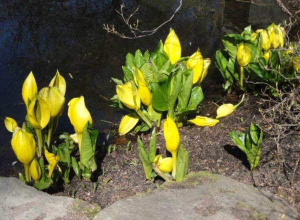 Lysichiton americanus. Botánico. Gotemburgo. Foto R.Puig