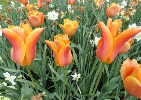 Trägårdsförening. Tulipanes.  Gotemburgo.    Foto R.Puig
