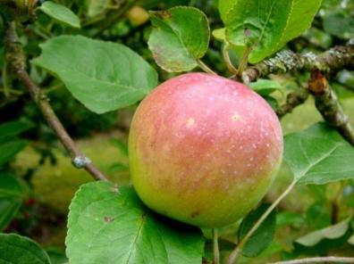 Manzana de Normandía. Fuente: France Voyage