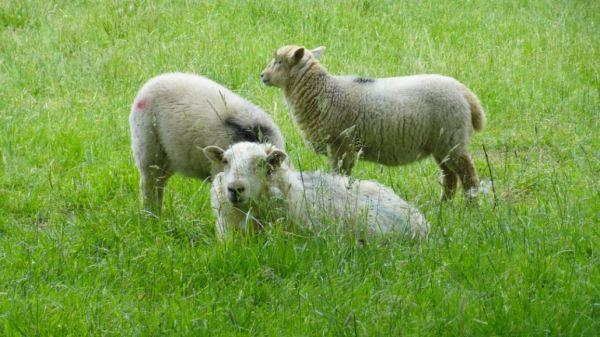 Ovejas de Herefordshire. Foto R.Puig