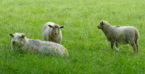 Ovejas de Herefordshire. Foto R.Puig.JPG