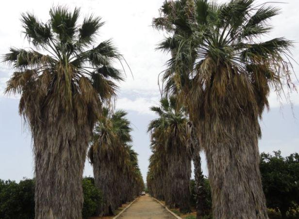 Palmeras barbudas en la Vía Verde de Els Poblets a Denia.  Foto R.Puig