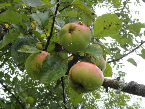 Manzanas de Le Mesnil. Foto R.Puig