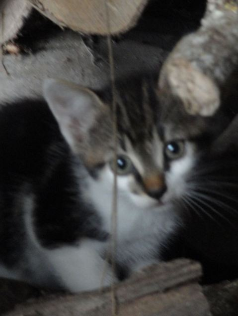 Un chaton de la petite sauvage normande. Foto R.Puig
