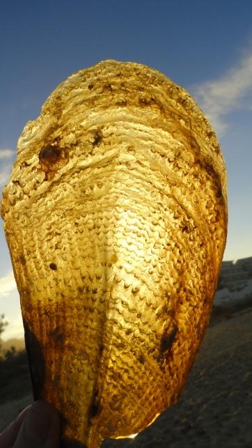Concha de tipo Mytilidae. Foto R.Puig