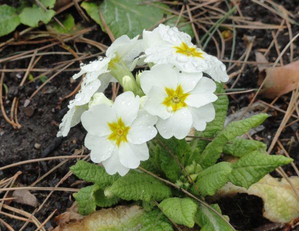 Prímulas blancas.  Botánico de Leicester.  Feb.2017. Foto R.Puig