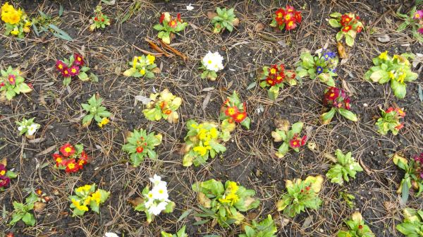 Prímulas. Botánico de Leicester. Feb.2017. Foto R.Puig