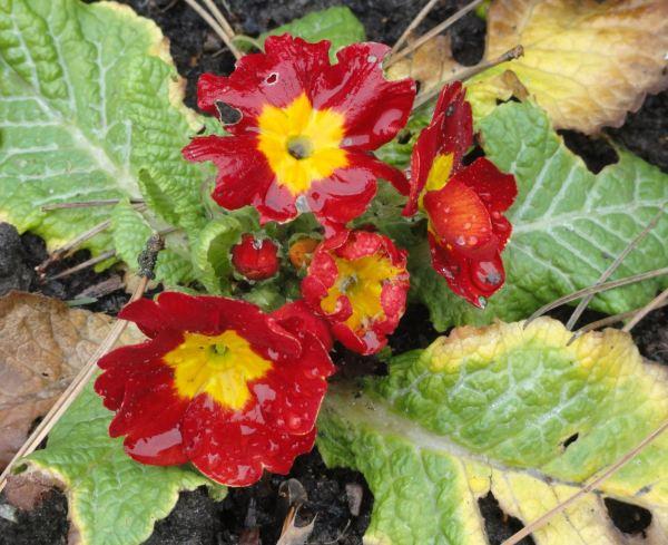 Prímulas rojas. Botánico de Leicester. Feb.2017. Foto R.Puig