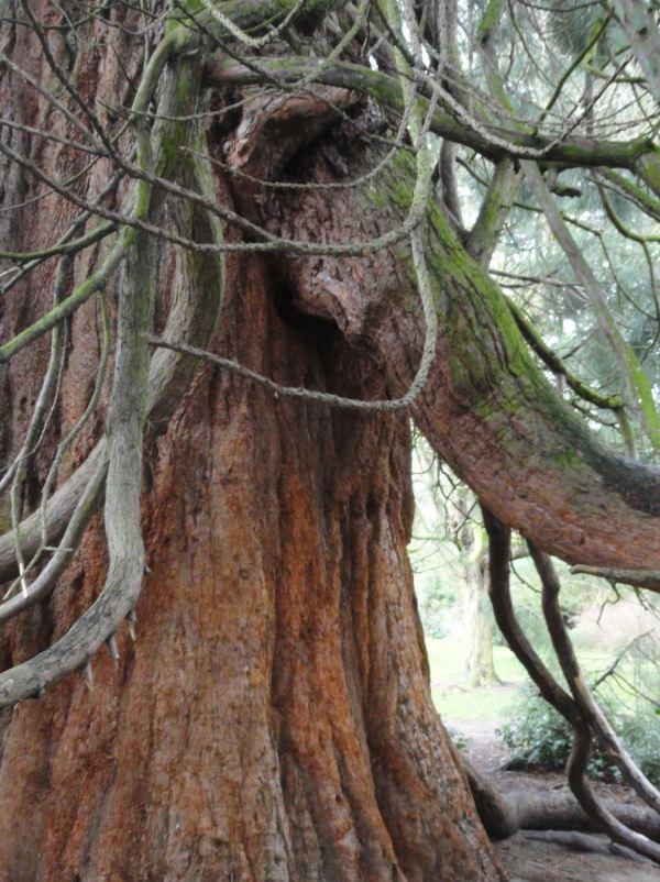 Sequoia. Botánico de Leicester. Foto R.Puig -