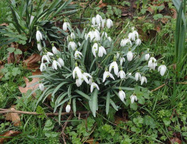 Snowdrops o Galanthus. Botánico de Leicester. Foto R.Puig