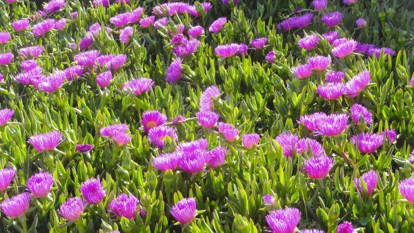 Las flores del diente de león. Foto R.Puig