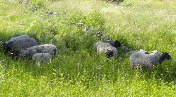 Las ovejas en Pilane 2017. Foto R.Puig