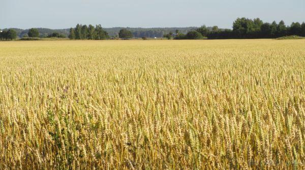 Eran días de cosecha. Foto R.Puig