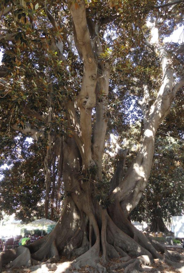 Ficus Macrophylla. Foto R.Puig